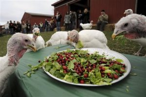Turkeys eating at the Celebration for the Turkeys event at the Farm Sanctuary animal shelter in Watkins Glen, New York
