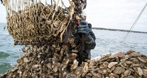 Oysters are harvested on Broad Creek, a tributary of the Choptank River, in this photo from fall 2013. (Photo: CNS)