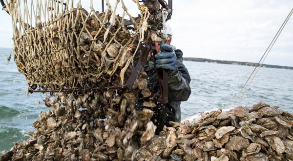 Strong bay harvest, fewer undersized oysters