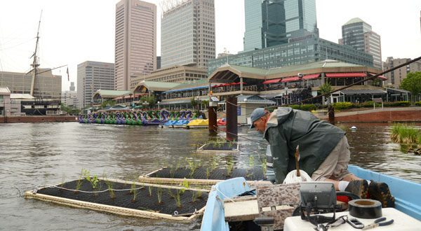 John Kellett, inventor of the Inner Harbor Water Wheel, ties some of the floating wetlands to pylons around the World Trade Center Baltimore. (The Daily Record/Maximilian Franz)