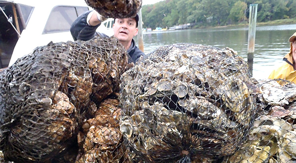 Oyster population rises in Maryland
