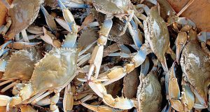 Crab season a bit pinched in Maryland, Delaware