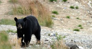 Black bear hunt opens in western Md.