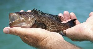 Photo of a grouper (iStock photo)