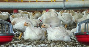 Chickens on a poultry farm in Denton. (File photo)