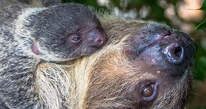 Felize, a Linne's two-toed sloth, was born March 30 at the National Aquarium. (National Aquarium photo)