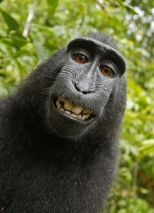 """This 2011 photo provided by People for the Ethical Treatment of Animals (PETA) shows a selfie taken by a macaque monkey on the Indonesian island of Sulawesi with a camera that was positioned by British nature photographer David Slater. The photo is part of a court exhibit in a lawsuit filed by PETA in San Francisco on Tuesday, Sept. 22, 2015, which says that the monkey, and not Slater, should be declared the copyright owner of the photos. Slater has argued that, as the """"intellect behind the photos,"""" he is the copyright owner since he set up the camera so that such a photo could be produced if a monkey approached it a pressed the button. (David Slater/Court exhibit provided by PETA via AP)"""