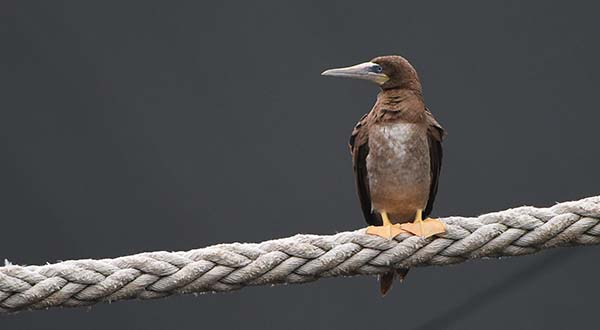 A juvenile brown booby sits on a mooring line between the ships Denebola and Antares in Baltimore's Inner Harbor Tuesday, Sept. 22, 2015. A pair of the birds, an adult and a juvenile have been in the area for the past week. The birds are common in the tropics but rarely seen along the U.S. coastline. (Jerry Jackson /The Baltimore Sun via AP)