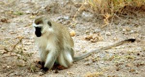 A vervet monkey. GenVec Inc. was awarded a U.S. patent covering methods of propagating proprietary gene delivery adenovectors isolated from new and old world monkeys. (U.S. Fish and Wildlife Service photo)
