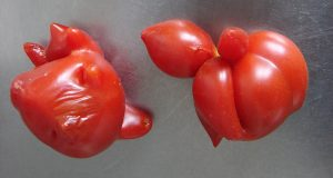 Some odd-looking tomatoes. (By Copyleft (Own work) [CC BY-SA 3.0 (http://creativecommons.org/licenses/by-sa/3.0)], via Wikimedia Commons)