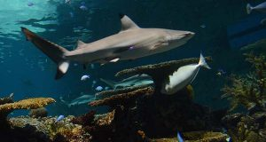A shark in the Black Tip Reef Exhibit at The National Aquarium. (File)