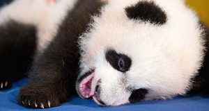 In this photo taken Dec. 14, 2015, Bei Bei, the National Zoo's newest panda and offspring of Mei Xiang and Tian Tian, yawns while being presented for members of the media at the National Zoo in Washington. The youngest giant panda cub at the National Zoo is ready for his close-up. Bei Bei will make his public debut on Jan. 16. During an audience with a small news media contingent Monday, he was so relaxed that he fell asleep and drooled on an examination table. At nearly 4 months old, Bei Bei weighs more than 17 pounds and is gaining about a pound a week. He's bigger than his older siblings were at the same age.  (AP Photo/Andrew Harnik)