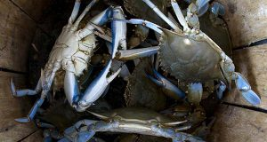 "(Flickr / Benjamin Wilson / ""Blue crabs in the bushel"" / CC BY-SA 2.0 / cropped and resized)"