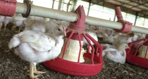In this file photo taken June 19, 2003, chickens gather around a feeder in a Tyson Foods Inc., poultry house near Farmington, Ark. A report released May 10 by international advocacy group Oxfam says some poultry workers in the United States are denied bathroom breaks. A Tyson worker said in the report that many workers at his North Carolina plant 'have to urinate in their pants.' Tyson said it's 'concerned' by the claims, but currently has 'no evidence they are true.(AP Photo/April L. Brown, File)