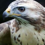 Maryland reduces permit fees for falconry, off-roading