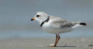The piping plover, seen in this 2006 photo, is a small, stocky, sandy-colored bird resembling a sandpiper. (U.S. Fish and Wildlife Service photo)