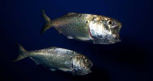 "Menhaden. (Flickr / Brian Gratwicke / ""Atlantic menhaden"" / CC BY 2.0 / cropped and resized)"