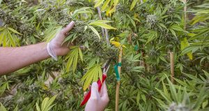 Freshly harvested medical marijuana (Thinkstock)