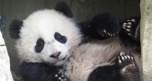 """Bao Bao the panda in 2014.(Flickr / mango.olive / """"Bao Bao plays in the cave"""" https://flic.kr/p/nbpDr5 / CC BY 2.0 https://creativecommons.org/licenses/by/2.0/ / cropped and resized)"""