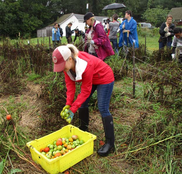 A Crosby Marketing Communications employee picks vegetables during her time helping out at Clagett Farm in Upper Marlboro. (Crosby Marketing Communications photo)