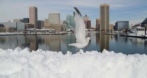 A seagull takes flight from a bank of plowed snow in January 2016 along the inner harbor promenade. (The Daily Record/Maximilian Franz)