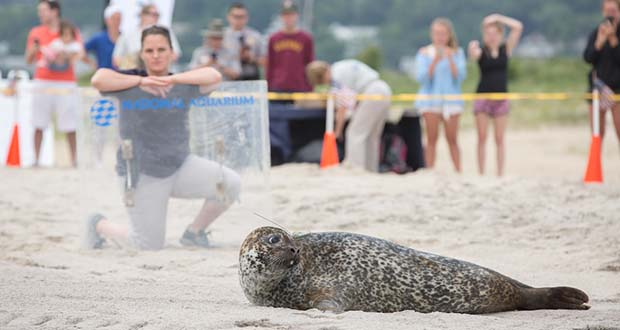 Phil, a seal, looks rearward as Kate Shaffer, rehabilitation manager at the National Aquarium, watches from behind a plastic device used to guide the seal toward the water (Theresa Keil / National Aquarium photo)