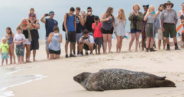 Phil, a seal, approaches the surf on Tuesday at Gateway National Recreation Area in Sandy Hook, New Jersey. (Theresa Keil / National Aquarium photo)