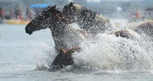 """In this Wednesday, July 27, 2016, file photo, Chincoteague Ponies hit the water for the 91st annual Chincoteague Pony Swim across Assateague Channel during the annual swim from Assateague Island to Chincoteague Island, Va. The 92 annual Chincoteague pony penning is set for Wednesday, July 26, 2017. Organizers said the wild ponies of Assateague Island will swim across to Chincoteague sometime between 6 a.m. and 8 a.m. The event draws thousands of tourists each year and was memorialized in Marguerite Henry's novel """"Misty of Chincoteague."""" (Jay Diem/The Daily Times via AP, File)"""