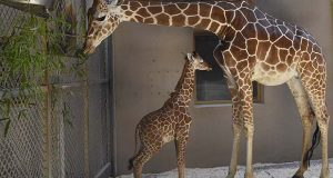 FILE - This June 28, 2017, file photo, provided by The Maryland Zoo shows a baby giraffe, Julius, and his mother, Kesi, at the zoo in Baltimore. The Maryland Zoo says the young giraffe calf born June 15 has died. Don Hutchinson, the zoo's CEO, said Saturday, July 15, 2017, that veterinary staff and an animal care team put their lives on hold and explored every avenue to try to nurse Julius back to health. (Jeffrey F. Bill/The Maryland Zoo via AP, File)