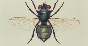 """This illustration depicts a dorsal view of a """"Common green bottle"""" fly, or blowfly. (Centers for Disease Control and Prevention sketch)"""