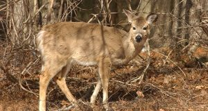 'We are confident that the General Assembly was aware of the provisions in the Natural Resources Article which recognize the importance of hunting for a variety of reasons, including wildlife population management,' the Court of Special Appeals held in allowing Montgomery County to proceed with a pilot bowhunting program to control the deer population at two county parks. (File photo)