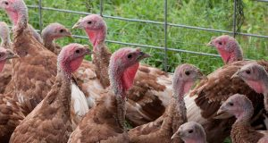 On average, these turkey polts will take 4 to 5 months to make weight. (USDA photo)