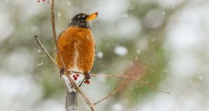 A robin eats berries from a tree branch in the snow in Phoenix, MD during an unexpected late season blizzard that took us all by surprise on March 14, 2017. (The Daily Record / Maximilian Franz)