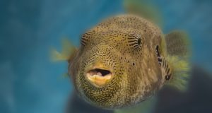 Duncan, a map pufferfish, currently lives off-exhibit at the National Aquarium Animal Care and Rescue Center while skilled aquarists fine-tune his diet. The new facility will have the capacity to accommodate up to 1,500 animals. (PRNewsfoto/The National Aquarium)