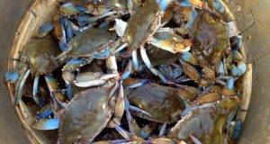 Live male Chesapeake blue crabs are stacked in a bushel basket. (Alyssa A. Botelho/The Washington Post)