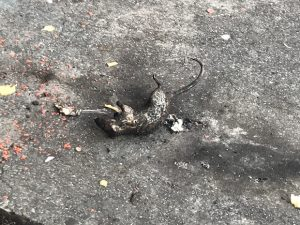 A charred rat corpse, or at least what certainly appeared to be one, was left on the sidewalk in the 300 block of North Eutaw Street on Wednesday morning. (The Daily Record / Adam Bednar)