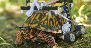 In this Sept. 6, 2018 photo provided by the Maryland Zoo, a wild turtle with a broken shell gets around on a wheelchair made of Legos while on the mend at the zoo in Baltimore. News outlets reported that veterinarians had performed surgery on the grapefruit-sized eastern box turtle found in July with fractures to the underside of his shell.  (Sinclair Miller/The Maryland Zoo via AP)