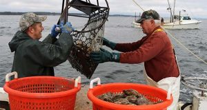 In a Tuesday, Nov. 19, 2019 photo, Robert T. Brown, right, president of the Maryland Waterman's Association, dredges for oysters with Matt Bernd on the Chesapeake Bay near Ridge, Md. A study estimated market-sized oysters dropped from 600 million in 1999 to about 300 million in the Maryland portion of the bay in 2018. (AP Photo/Brian Witte)