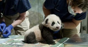 "This handout photo released by the Smithsonian's National Zoo shows a panda cub named Xiao Qi Ji in Washington. More than three months after his birth, the National Zoo's new panda cub finally has a name. Officials at the Smithsonian, which runs the zoo, announced Monday, Nov. 23, 2020, that the cub born on August 21 would be named Xiao Qi Ji, which is Mandarin Chinese for ""little miracle.""  (Smithsonian's National Zoo via AP)"