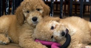 Puppies play in a cage at a pet store in Columbis in August 2019. (AP Photo/Jose Luis Magana, File)
